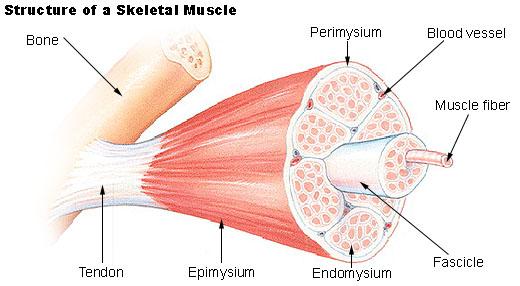 skeletal-muscle