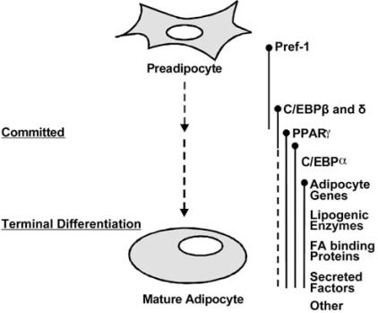 pre-adipocyte